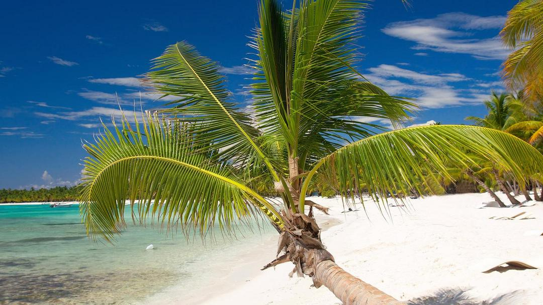 Coconut Palm On Caribbean Beach, Saona