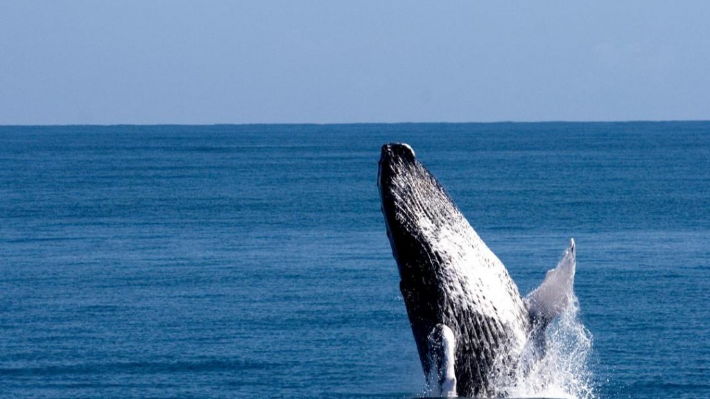 Watch the humpback whales in the bay of Samaná