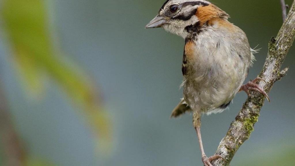 A Ciguitade, a popular bird in and around Constanza